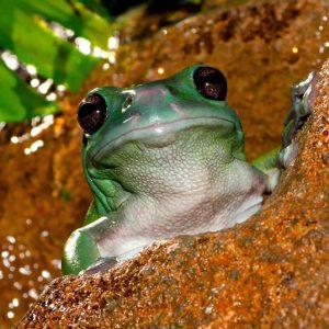 freddo_treefrog