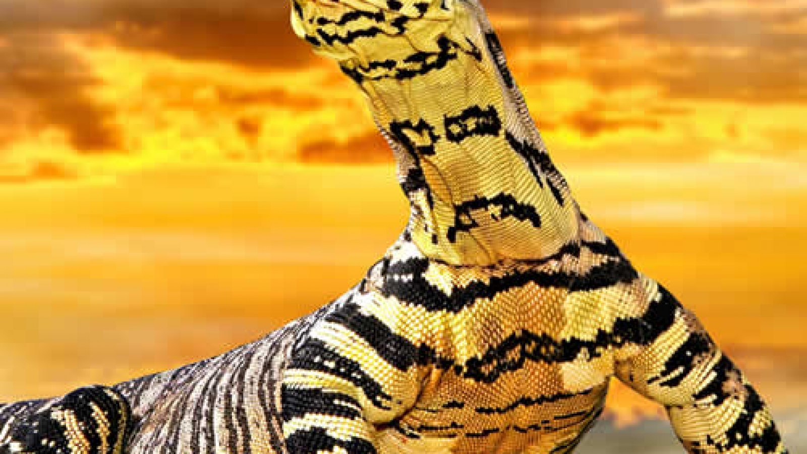 tiger_lace_monitor