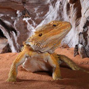 yellow beard_bearded dragon